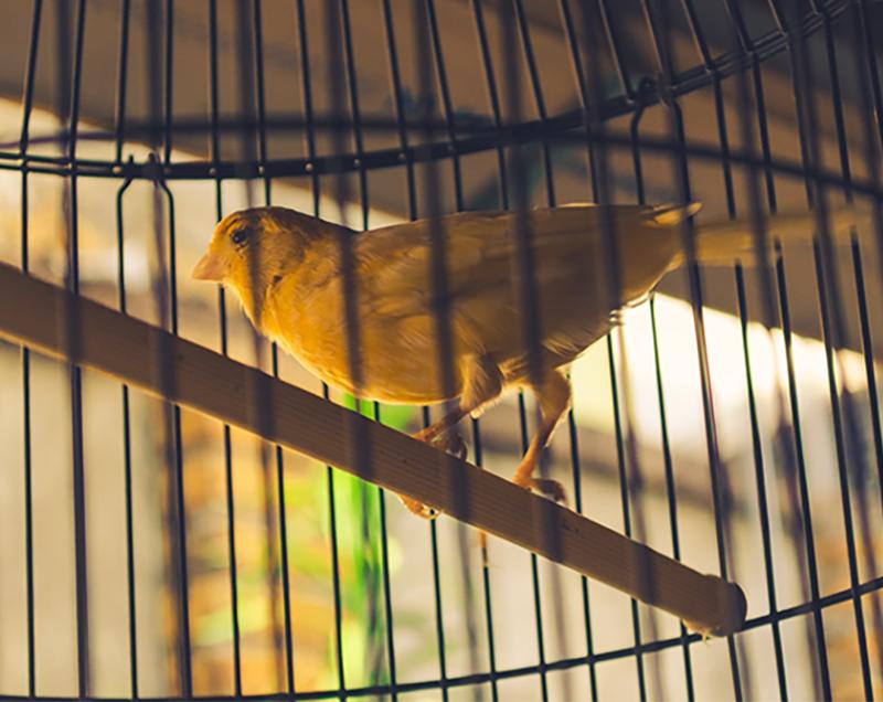 canary-800