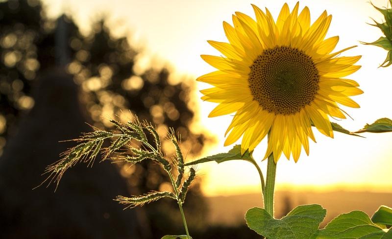 Sunflower thrives in the sunlight