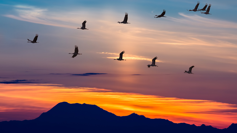 birds migrating during sunset