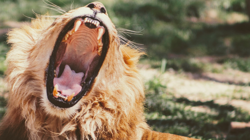 lionbite