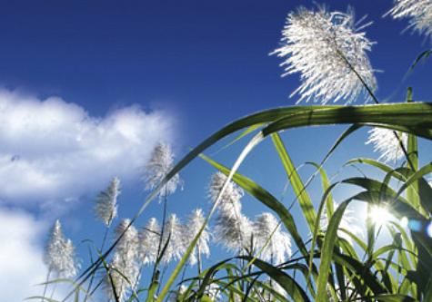 sugarcane2