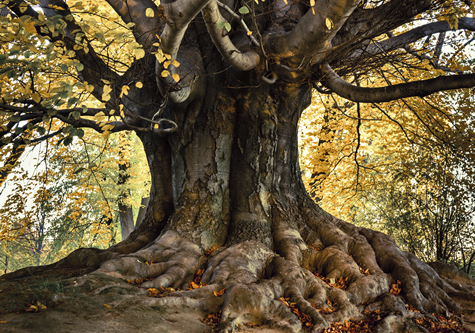 Big_old_tree