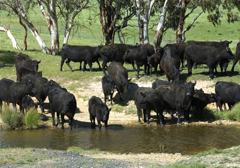 Cattle_watering_hole