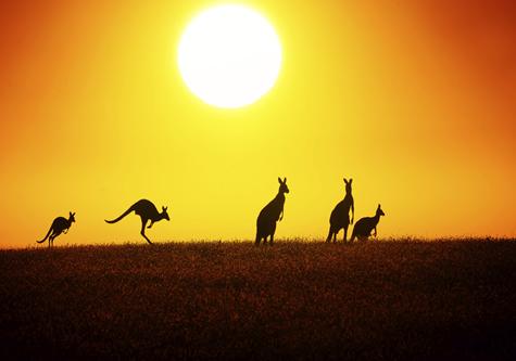 kangaroos_in_desert_sunset